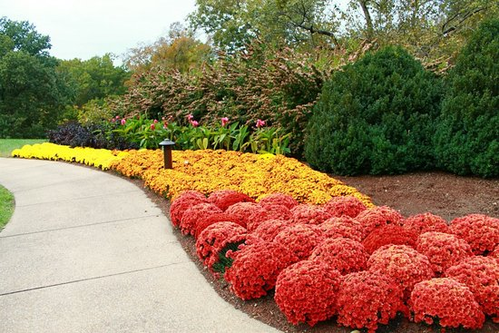 mums in fall picture of cheekwood botanical gardens museum of