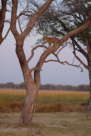 Maun, Botswana: Female adult leopard Moremi