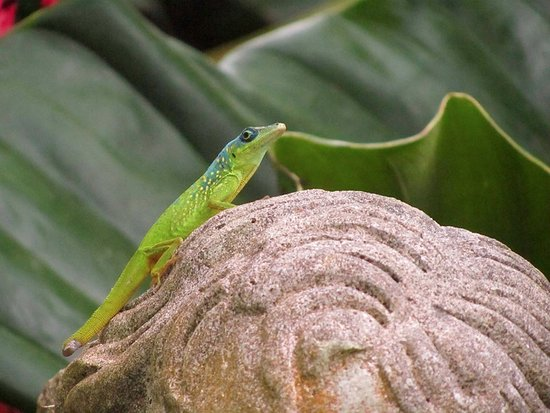 Hunte's Gardens: Lizard hanging out on a statue's head haha