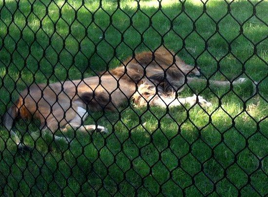 Litchfield Park, Αριζόνα: The laaaaazy lion!