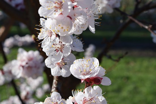 Cromwell, New Zealand: Spring Blossom