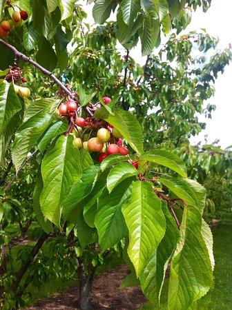 Cromwell, New Zealand: White Cherries