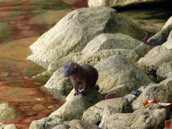 Mindemoya, Canada: Mink on the shore