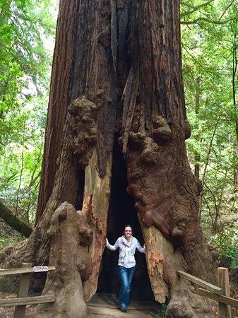 Mill Valley, CA: Big tree