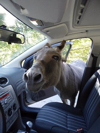 Epiro, Grecia: Feral donkeys may try to invade your car!