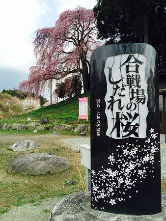 Kassenba no Shidare Zakura (Sakura)