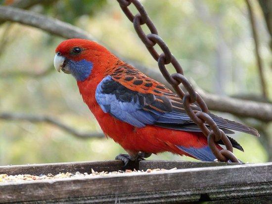 Vacy, Australia: one of the many colourful birds.