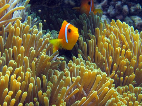 Thulusdhoo Island: Snorkeling with clown fish and anemone
