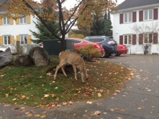 Embarc Tremblant: Deer grazing on grounds