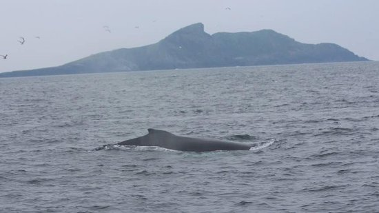 ‪‪Portmagee‬, أيرلندا: Humpback Whales at Puffin Island on the Skellig Ring. Sept 2015‬