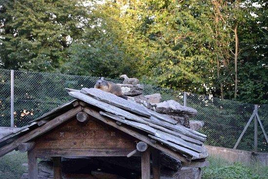 marmota en el tejado