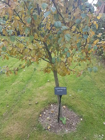 Kenilworth, UK: A Quince tree