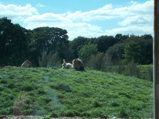 Dunstable, UK : Auch die Löwen haben reichlich Platz