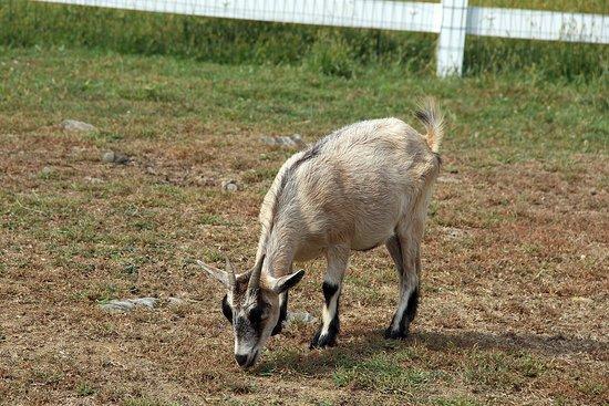 Strasburg, PA: Goat