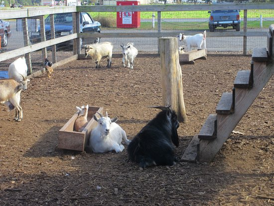 Dawn's Country Market: Goat resting