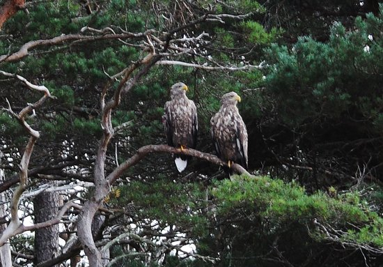 Shieldaig, UK: White-tailed Eagles perched