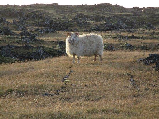 Grindavik, Iceland: Sheep