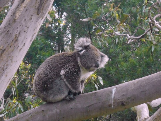 Cowes, Australien: Koala Conservation Centre