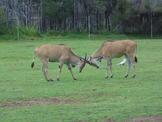 Dubbo, Australia: Elands - near the start of the journey - great to see their natural instincts on display