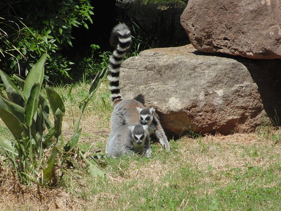 Dubbo, Australia: Ring Tailed Lemur - cheeky little animals great to watch them play
