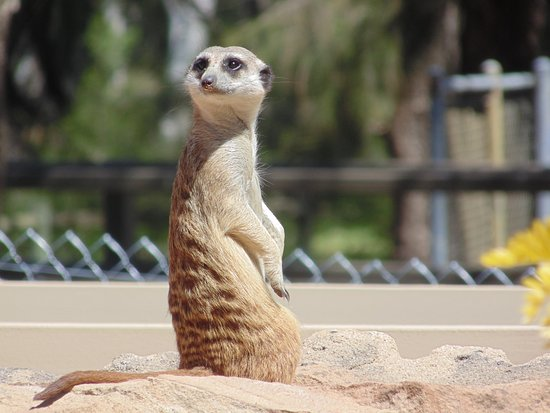 Dubbo, Australia: Meerkats - at the start of the circuit - these gorgeous creatures work in a big family