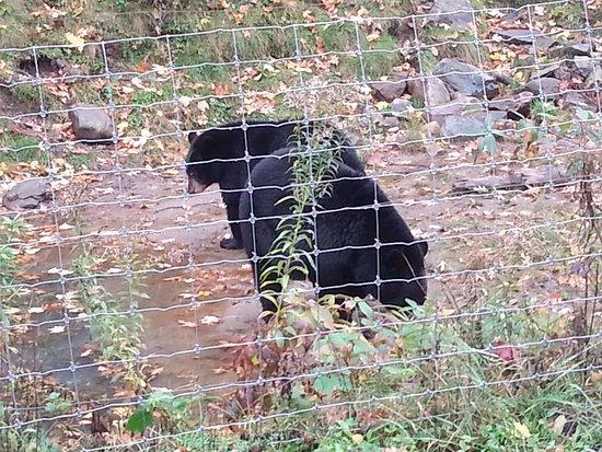 Montebello, Canada: Bears