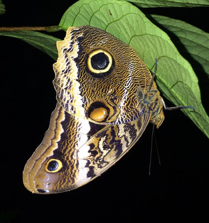 Forest Alive: Owl butterfly.  see the snake head imitations?