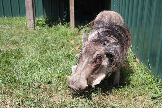 Αν Άρμπορ, Μίσιγκαν: Sophia the warthog grazing