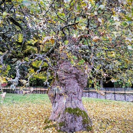 Blair Atholl, UK: Gorgeous tree