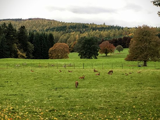 Blair Atholl, UK: Stags in the field