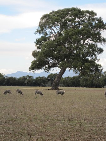 Cavendish, Australia: Sheep area