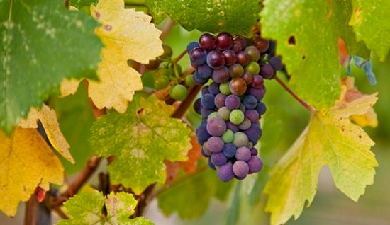 Okanagan Falls, Canada : Pinot Noir grapes during verasion.