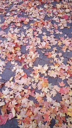 Gray Line: maple leaves