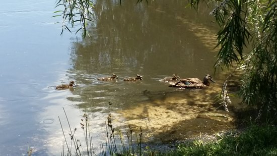 Yanchep, Avustralya: Mother Duck and Ducklings
