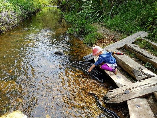 Motueka, Nova Zelândia: Tame eels