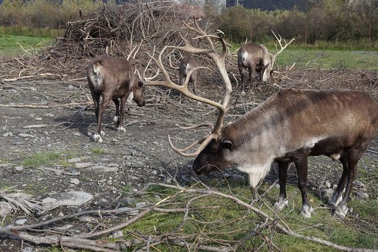 Girdwood, AK: Caribou at AWCC
