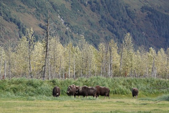 Girdwood, AK: AWCC Muskox Herd