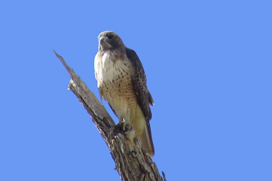 Yuma, AZ: This Red-tailed Hawk posed along the road.