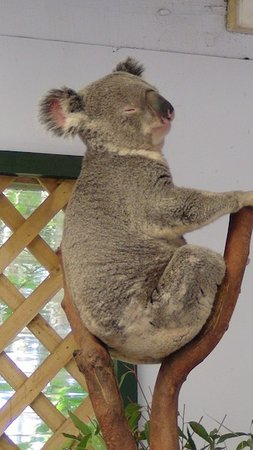 Blacktown, ออสเตรเลีย: Koala Bär