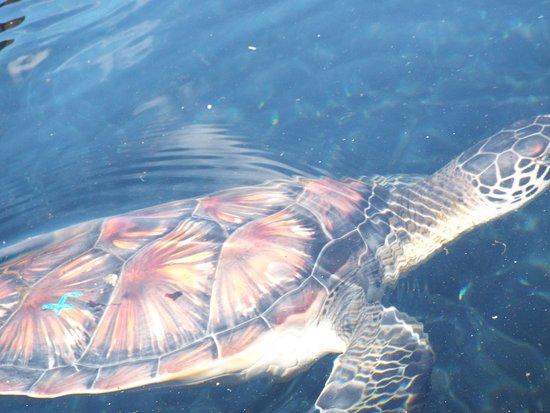 Wailuku, Hawái: sea turtle