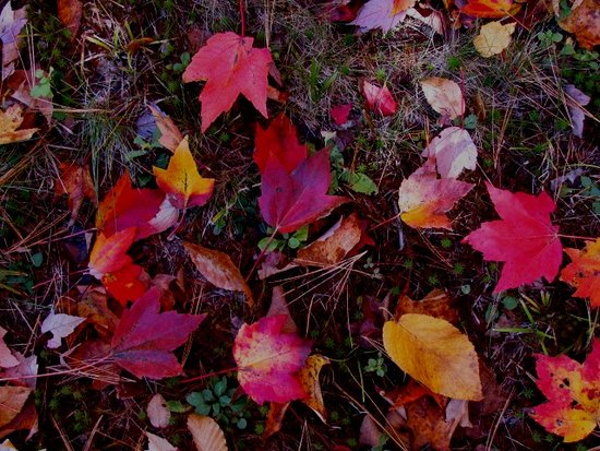 Newfane, VT: Fall Leaves on lawn