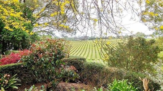Hamilton, New Zealand: Zealong Tea Plantation