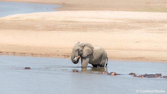 South Luangwa National Park, Zambia: Elephants bathing in the river with the hyppos