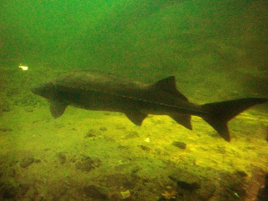 Cascade Locks, OR: Another Sturgeon seen through the viewing window