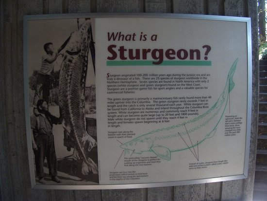 Cascade Locks, OR: Info posted for Sturgeon viewers at the center