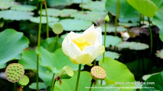 Tamarin: Nelumbo nucifera, also known as Indian lotus, sacred lotus, bean of India, or simply lotus, is o