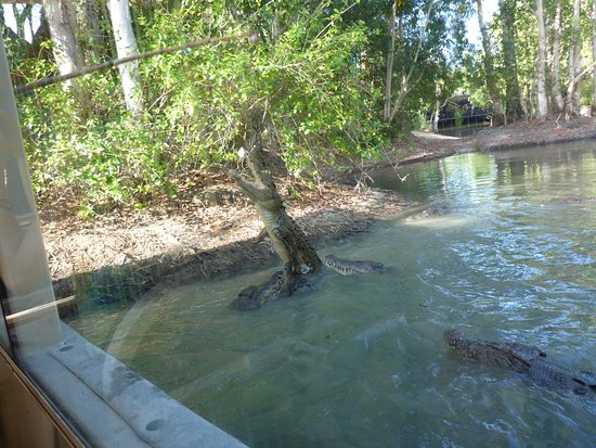 Palm Cove, Australia: More feeding of Crocodiles from the boat