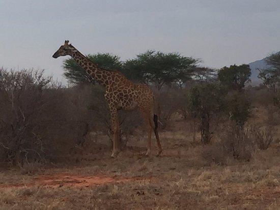 Tsavo National Park East, Kenia: Giraffe