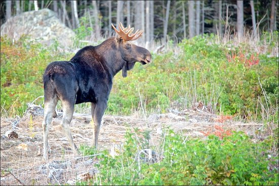 Greenville, ME: A young bull moose! Thanks Trevor!