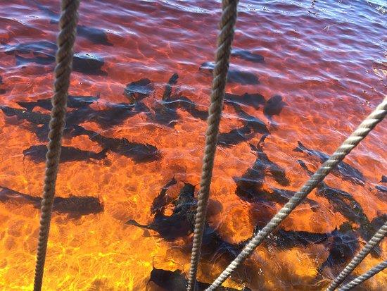 Poissons chats sur les bords du lac Minneola
